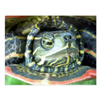 Gemalte Schildkröte (Chrysemys picta) 2 Postkarte