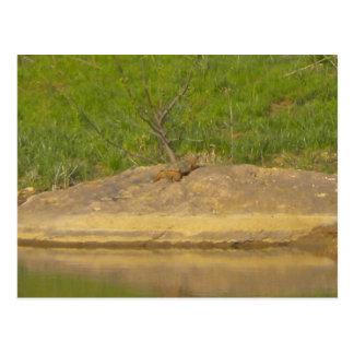 Gemeine reißende Schildkröte Postkarte