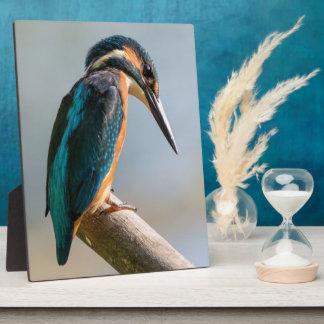Gemeiner Eisvogel Fotoplatte