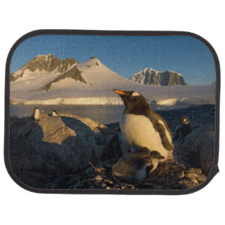 gentoo Pinguin, Pygoscelis Papua, Elternteil mit Autofußmatte