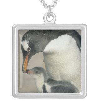 Gentoo Pinguin, (Pygoscelis Papua), Erwachsener Versilberte Kette