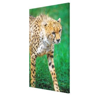 Gepard-anpirschendes Opfer Leinwanddruck