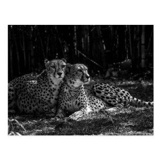 Gepard-Postkarte Postkarte