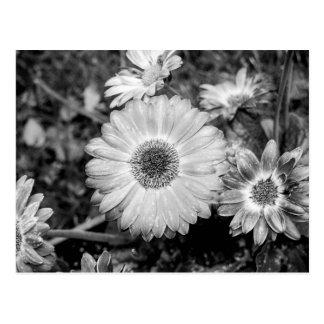 Gerbera-Gänseblümchen-schwarze u. weiße Fotografie Postkarte