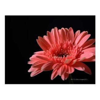 Gerberagänseblümchen auf schwarzem Hintergrund 3 Postkarte