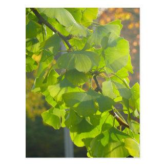Gingko-Blätter in der Herbstsonne Postkarte