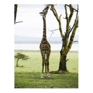 Giraffe in Kenia, Afrika Postkarte