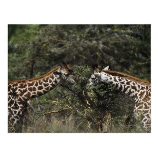 Giraffen, die auf Akazien-Niederlassung, Afrika Postkarte