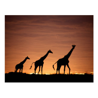 Giraffes at Sunset Postkarte