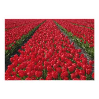 Gisement de fleur des tulipes, Pays-Bas, Hollande Photographies D'art
