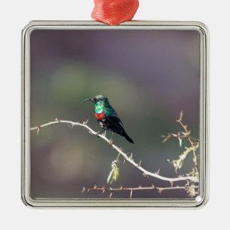Glänzendes Sunbird (Cinnyris habessinicus) Silbernes Ornament