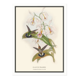 Gould-Richter, Vintager Einsiedler-Kolibri Postkarte