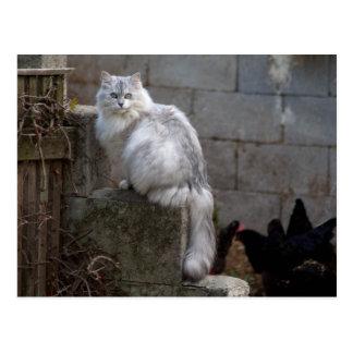 Grau-Weiße Angora-Katze Postkarte