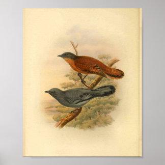 Grauer gegenübergestellter Kuckuck Shrike Poster