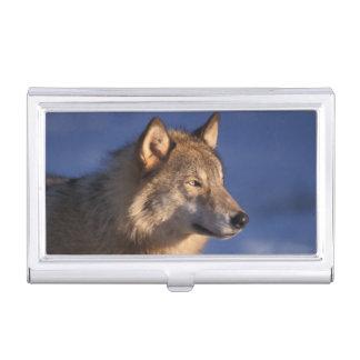 grauer Wolf, Canis Lupus, in den Vorbergen von 2 Visitenkarten Dose