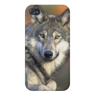 Grauer Wolf iPhone 4 Fall Schutzhülle Fürs iPhone 4