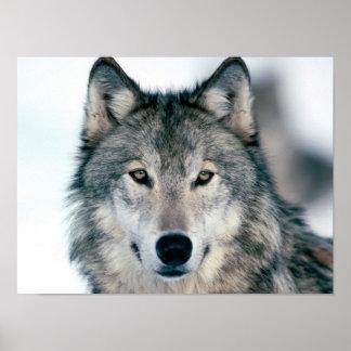 Grauer Wolf Poster