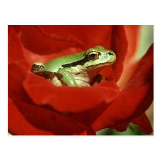 Grenouille se reposant sur le rose rouge cartes postales