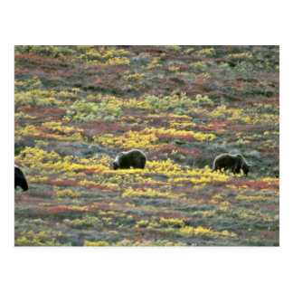 Grizzlybären, Denali Nationalpark, rotes Florida Postkarte