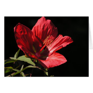 Große rote Karte des Hibiskus (Hibiskus coccineus)