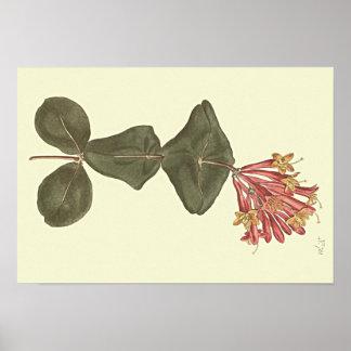 Große Trompete-Geißblatt-botanische Illustration Poster
