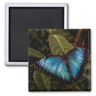 Großer, schöner, blauer Schmetterling Quadratischer Magnet