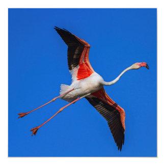 Größerer Flamingo, phoenicopterus roseus Karte