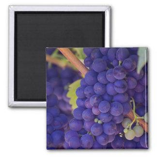 Großes Bündel saftige lila Trauben Quadratischer Magnet