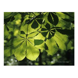 Grün sieben Punkt-Blätter mit Sun-Beleuchtung Postkarte