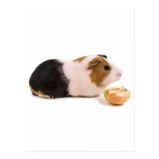 guinea pig eating an apple postkarte