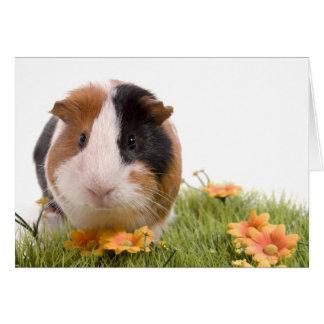 guinea pigs man hat lawn karte