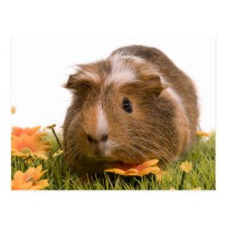 guinea pigs man hat lawn postkarte