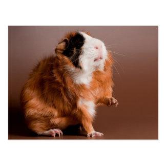 guinea pigs postkarte