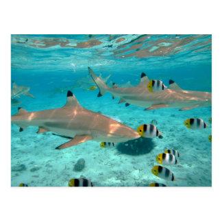 Haifische in der Bora Bora Lagunepostkarte Postkarte