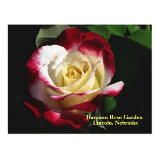 Hamann Rosen-Garten-Doppelt-Freuden-Rose #190n 019 Postkarte