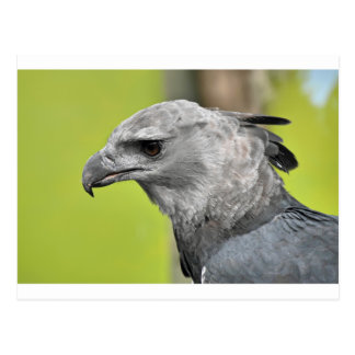 Harpy Eagle 2.JPG Postkarte