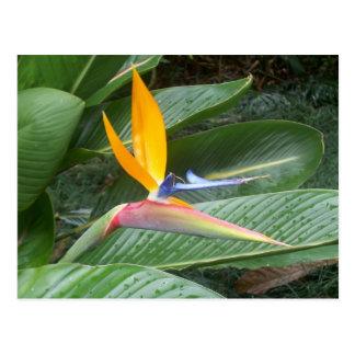 Hawaiische Blume Postkarte