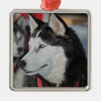 Heiserer Hund vor einem Rennen, Kanada Quadratisches Silberfarbenes Ornament