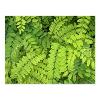 Hellgrünes Blätter der Akazie Postkarte