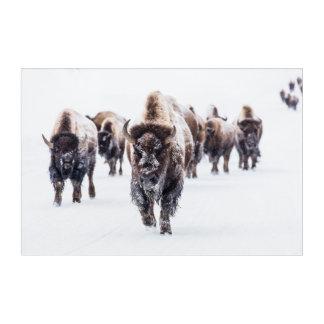 Herde des Bisons, Büffel im Schnee an Acryldruck
