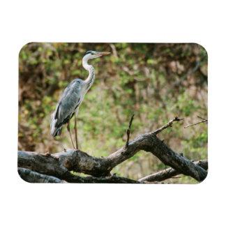 Héron gris (Ardea cinerea), Afrique du Sud Magnets En Vinyle