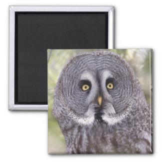Hibou de grand gris (nebulosa de Strix) Magnet Carré