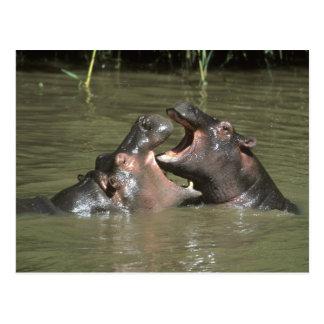 Hippopotamus, (H. amphibius), Mutter u. Junge Postkarte