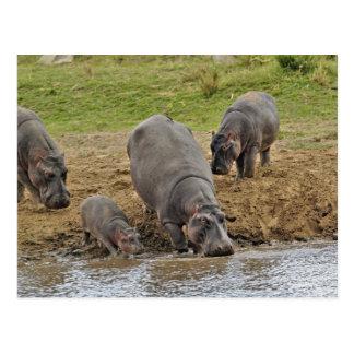 Hippopotamus, Hippopotamus amphibius, Serengeti Postkarte