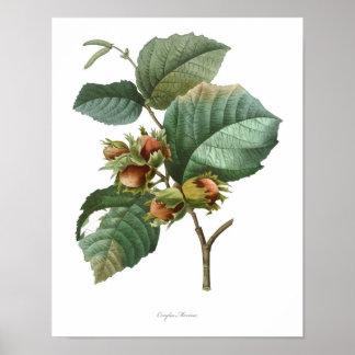 HOCHWERTIGSTER botanischer Druck der Haselnuss Poster