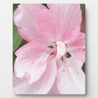 Holzapfel-Blüten-nahes hohes Fotoplatte