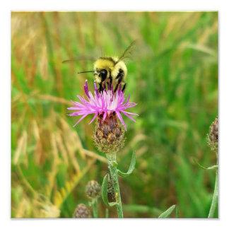 Honig-Biene, die Unkräuter zieht? Fotodruck