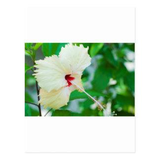 Hübsche gelbe Hibiskus-Blume Postkarte
