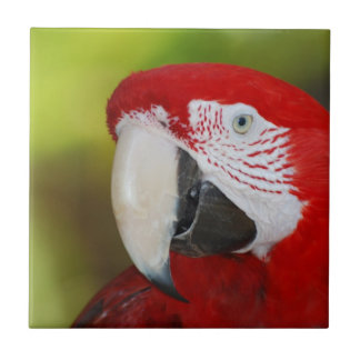 Hübscher ScarletMacaw Kachel