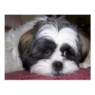 Hund Shih Tzu Postkarte